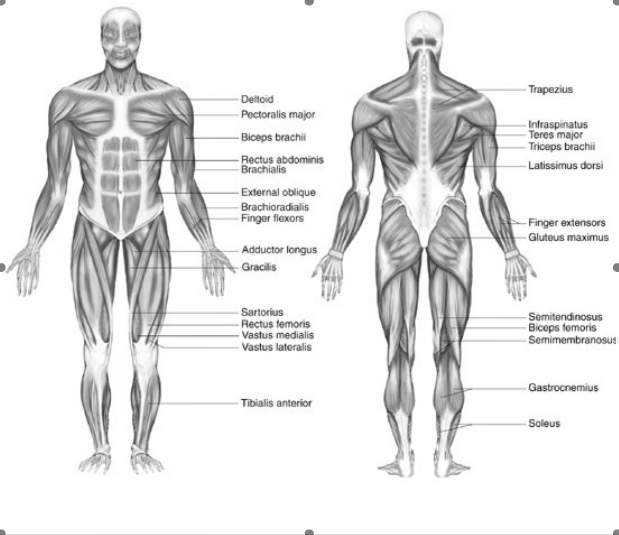 The Muscular System The Muscular System